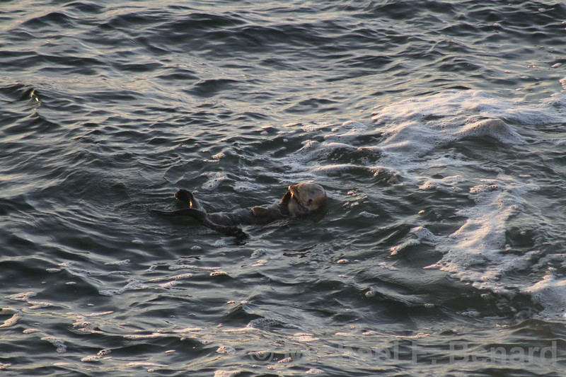 Sea Otter floating and eating.