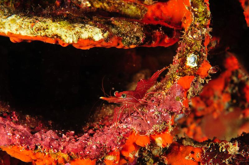 Pepermint Shrimp