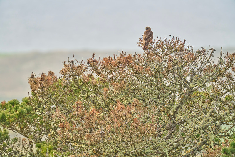 Hawk at Point Reyes