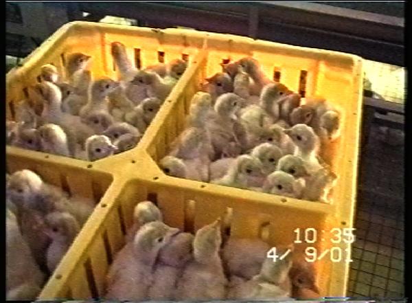 poussins-bac-2001.jpg