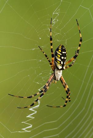 Arachnids (Arachnida)