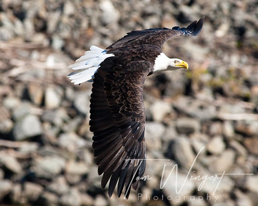 Eagles @ Conowingo Dam