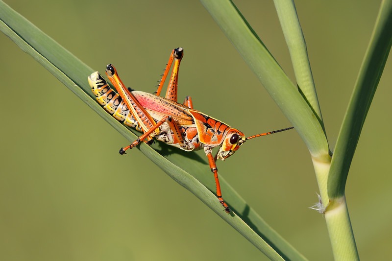 Lubber Grasshopper-3830.jpg