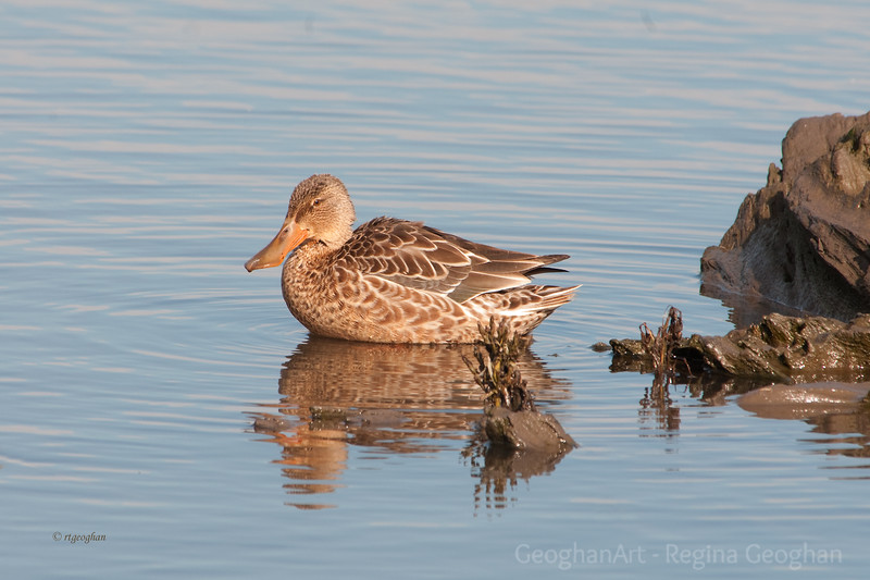 Northern Shoveler Female MCM_8121.jpg