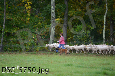 Herding Trials Sept30