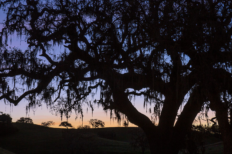 California_Central_Coast_Oak_Trees_Silhouette_MG_1617.jpg