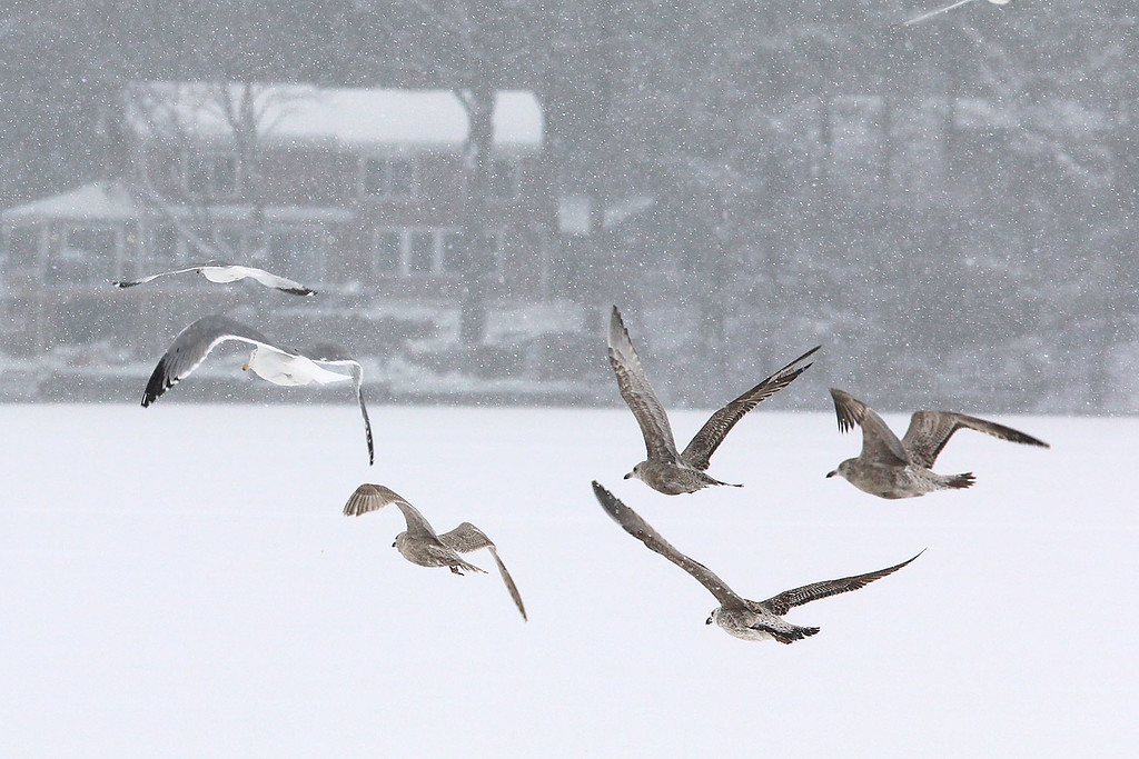 . Some seagulls try to fly through the snow storm over Lake Whalom on Tuesday February 7, 2017. SENTIENL & ENTERPRISE/JOHN LOVE