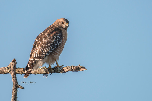 Red-shouldered Hawk CB_DWL1865.jpg
