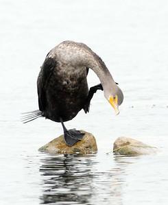 Cormorats