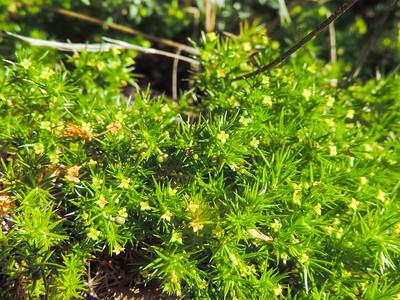Phlox-leaved Bedstraw (Galium andrewsii ssp. andrewsii)