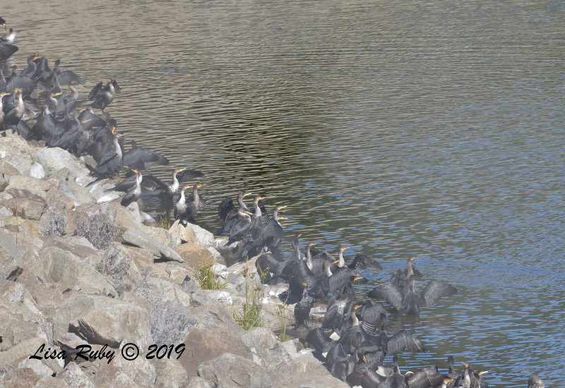 Double-crested Cormorants  - 12/28/2019 - Lake Wohlford area