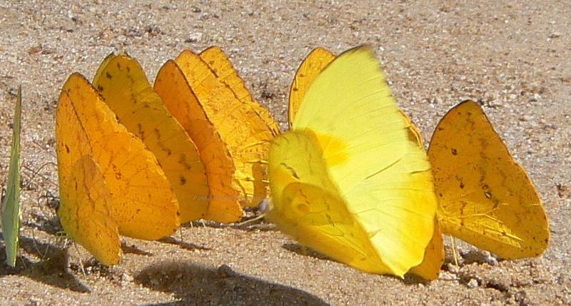 Or-barredS(d)10748 June 30, 2007  11:32 a.m.  P1010748 Orange-barred Sulphur male, dorsal, in flight.  Phoebis philea.