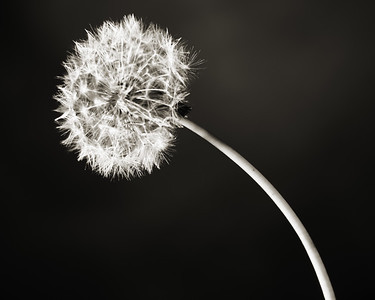 Dandelions in Black and White set 2107