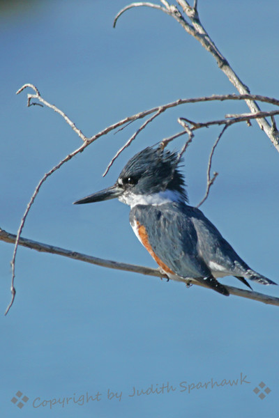 Belted Kingfisher ~ This male kingfisher was photographed in San Diego.  He stayed perched above the San Diego River, allowing me to inch forward in my car, shooting out the window, taking new shots every few feet.