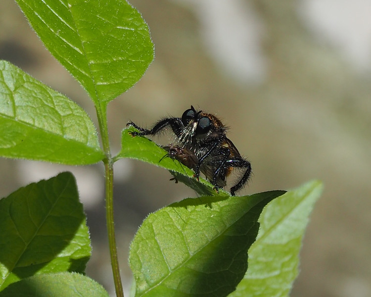 Robber fly species with victum