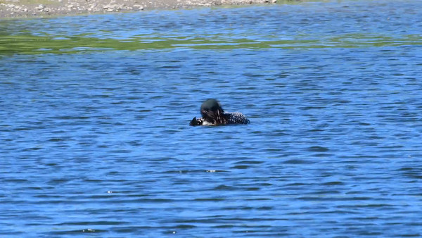 6-15-16 Video Common Loon - Water Dance