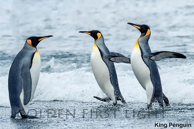 King Penguin, South Georgia