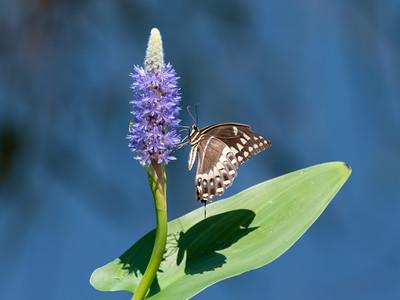 Butterflies in North Carolina, 2021