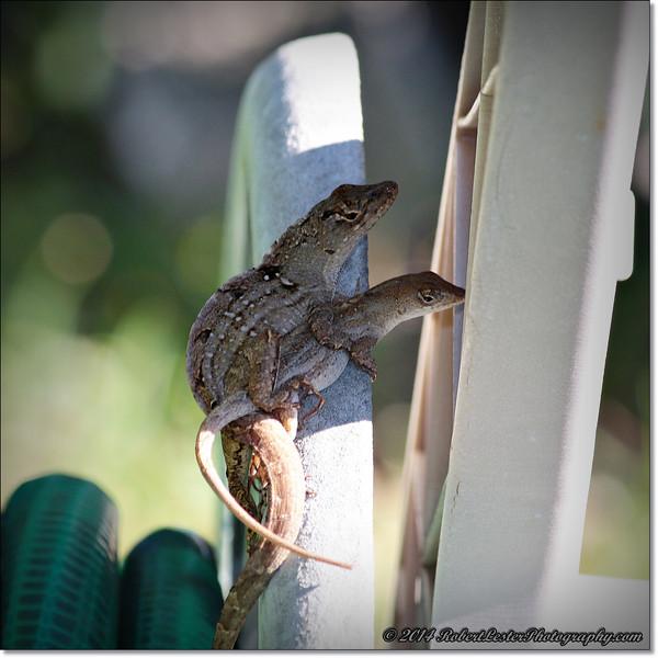 2014-06-06_IMG_0846__Anole Lizard,Clearwater,Fl..JPG