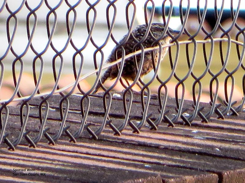 IMG_4999 T Spotted Wren, S J Cosala.jpg