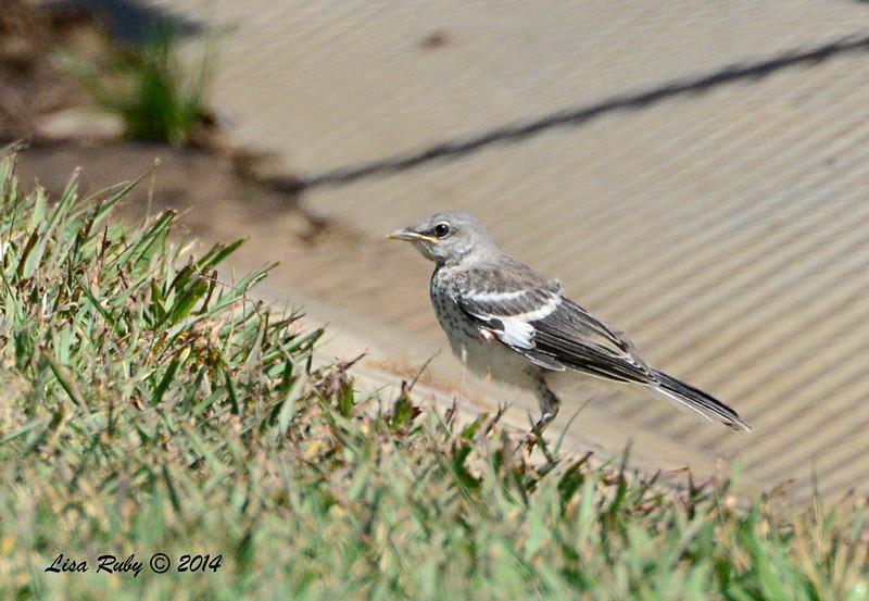 Fledgling Northern Mockingbird  - 5/4/2014 - Fort Rosecrans National Cemetery