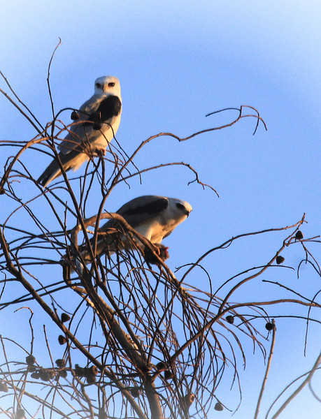 White tailed Kites