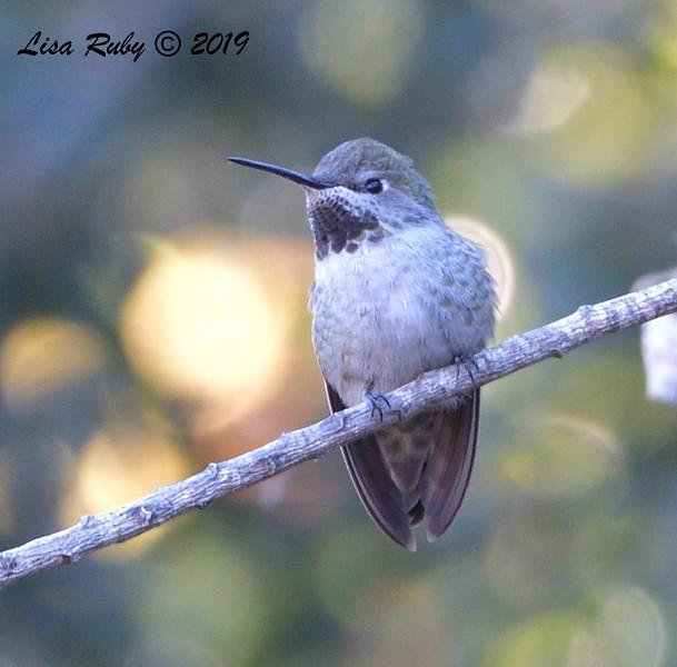 Anna's Hummingbird  -  11/3/2019 - Poway, Budwin Lane