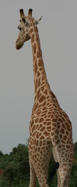 giraffes4-434271752-O.jpg