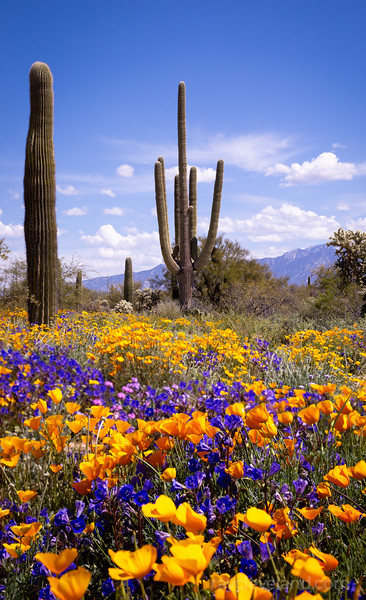 Wildflowers and Saguaros