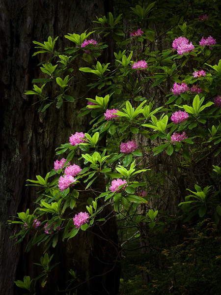 Rhododendron Drama