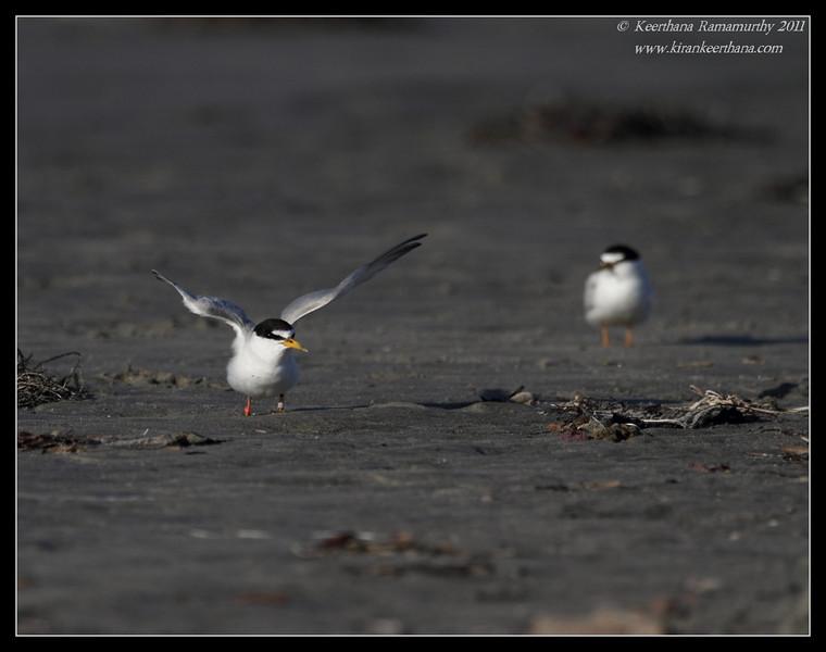 Least Tern, Robb Field, San Diego River, San Diego County, California, July 2011