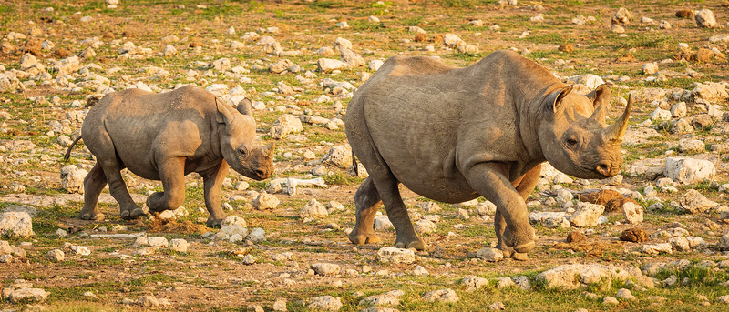 Thirsty rhino 1