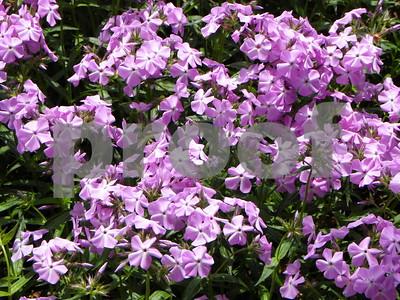 phlox-pilosa-native-to-us-in-blooming-in-heritage-garden