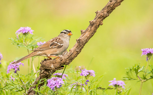 White-crowned Sparrow_DWL1832.jpg