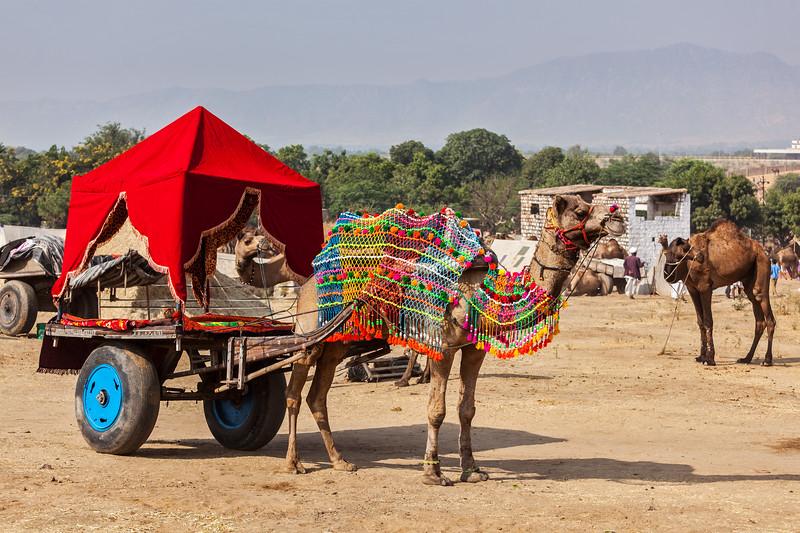 Camel taxi.  Pushkar Mela (Pushkar Camel Fair). Pushkar, Rajasthan, India
