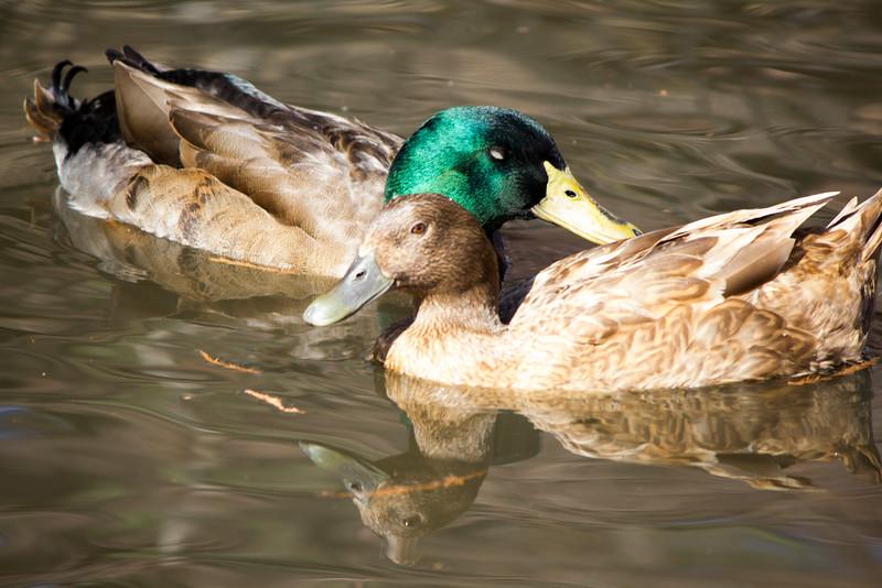 2016_02_27_Ducks_5555.jpg