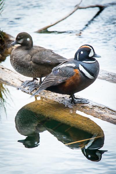 Harlequin Ducks-2.jpg