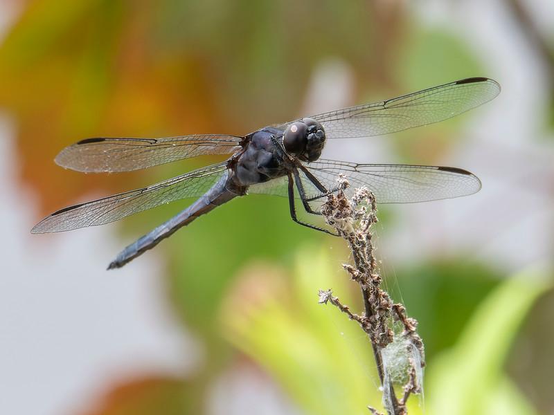 Slaty Skimmer (Libellula incesta), male
