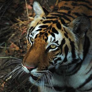 2008 & 2009 - India - Tiger Safaris