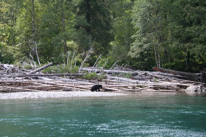 20110827 - 115 - GNP - Black Bear At Swimming Hole Along GTTS Road.JPG