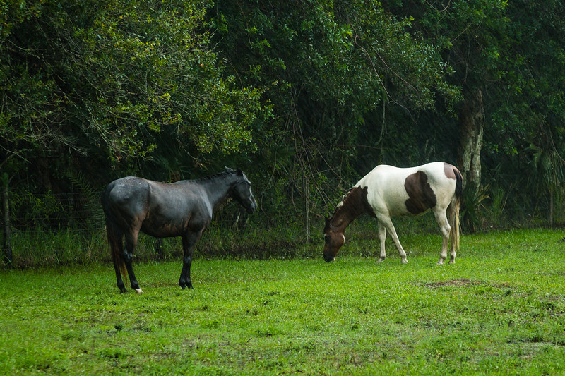 Phoenix and her new pasture pal, Soldier in a wet Loxahatchee Groves on Thursday, June 15, 2017. (Joseph Forzano / Deep Creek Films & Photography)