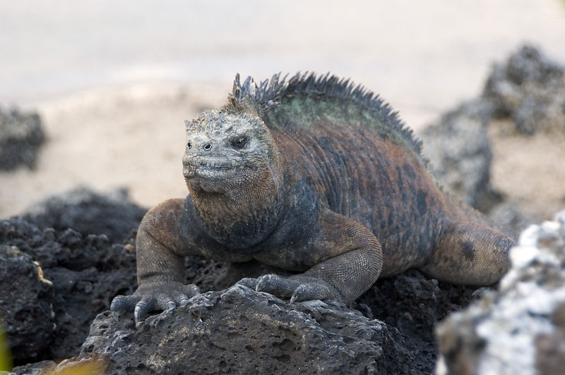 Marine iguana on rocks by beach