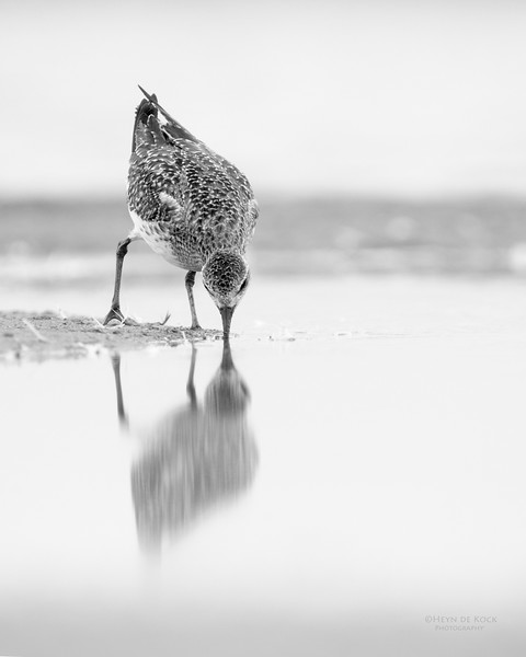 Grey Plover, Lake Wollumboola, NSW, Feb 2015-1 b&w.jpg