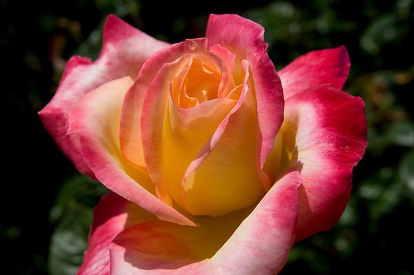Laraine's Roses