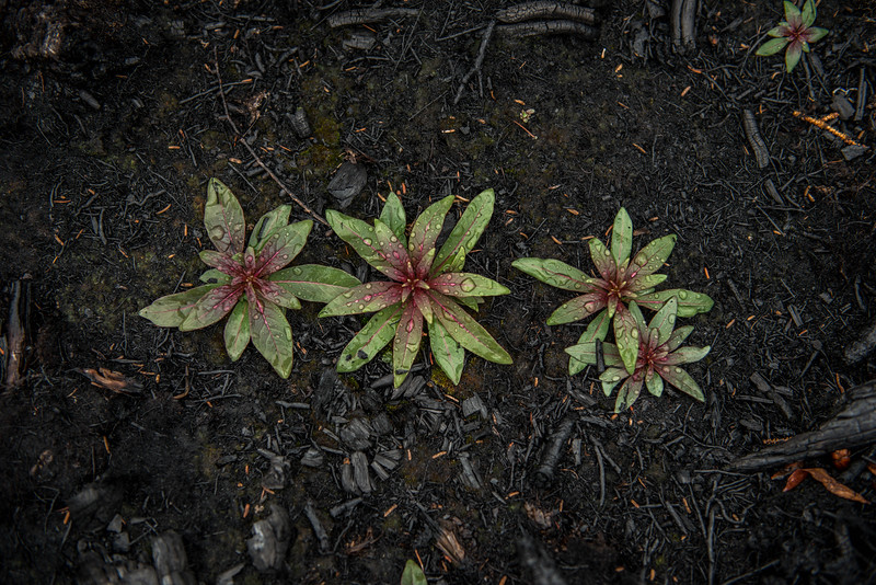 After the rain the green plants stand out against the burned forest floor