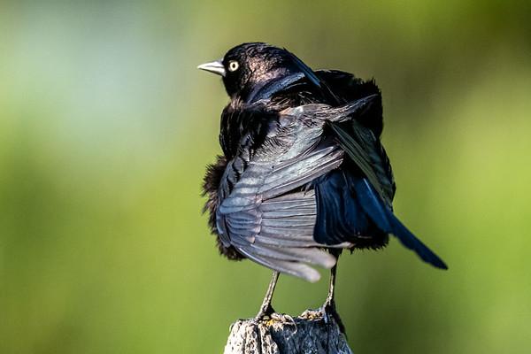 5-29-20 Brewer's Blackbird - Preening
