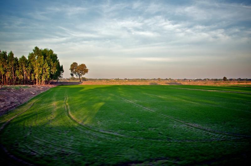 Paddy field looking a bit dry.jpg