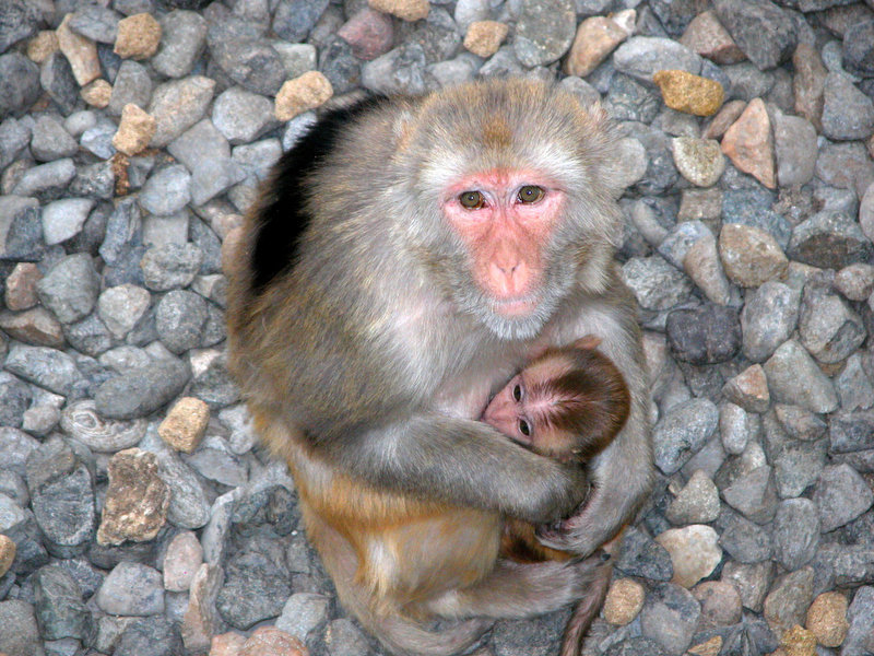 . This is a Japanese Macaque monkey mom and her baby of the same type that were used in the study. The monkeys live at the Oregon National Primate Research Center at the Oregon Health and Science University in Beaverton, Oregon. (Photo courtesy Oregon Health and Science University