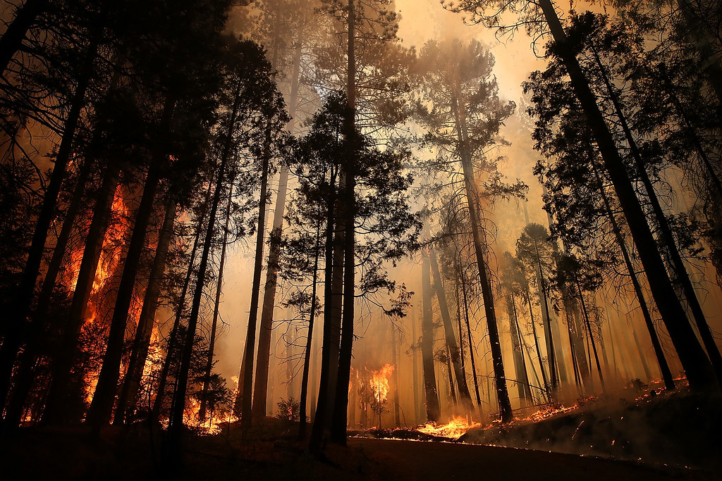 . Flames from the Rim Fire consume trees on August 25, 2013 near Groveland, California. The Rim Fire continues to burn out of control and threatens 4,500 homes outside of Yosemite National Park. Over 2,000 firefighters are battling the blaze that has entered a section of Yosemite National Park and is currently 7 percent contained.  (Photo by Justin Sullivan/Getty Images)