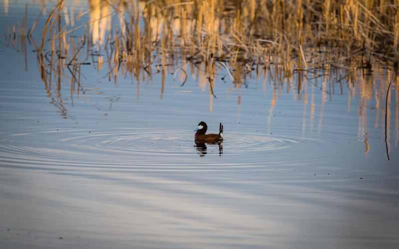 Male ruddy duck doing a courting dance
